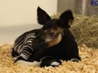 Зоопарк Далласа представил 36-го детеныша окапи