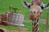 Жирафы из зоопарка Уипснейд отпраздновали новоселье