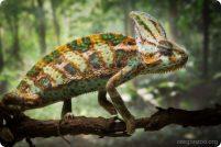 Орегонский зоопарк представил йеменского хамелеона