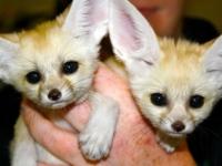 Фенеки-сестрички из зоопарка Чаттануга