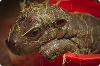 Детеныш карликового бегемота и зоопарка Эдинбурга