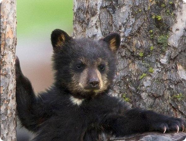 Медвежье семейство в горах на западе штата Вайоминг
