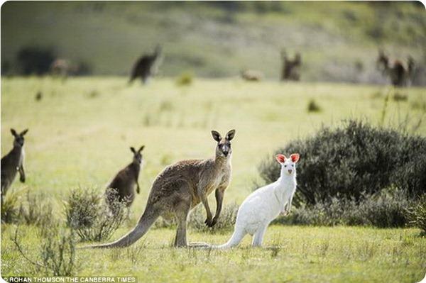 В дикой природе обнаружен кенгуру-альбинос