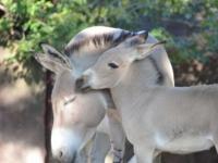 Сомалийские ослики из зоопарка Сент-Луиса