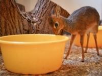 Зоопарк Честера представил детеныша антилопы дик-дик