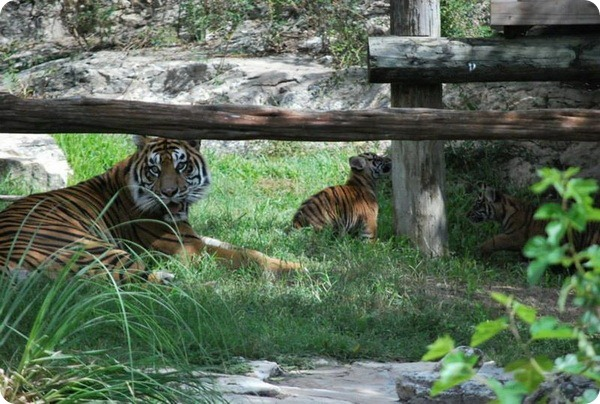 Зоопарк Сан-Антонио представил суматранских тигрят