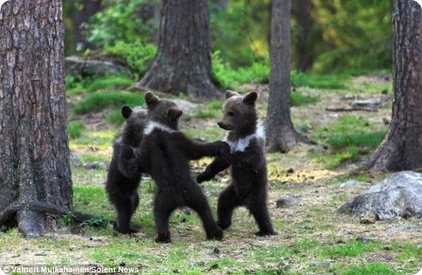 Танцующие медвежата из Финляндии