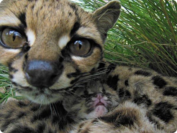 В биопарке Уругвая родился детеныш марги