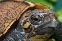 Аквариума Теннесси представил вьетнамских черепах