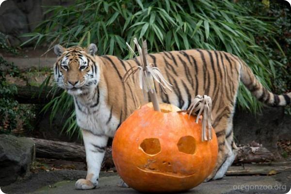 Хэллоуин и день рождения для амурских тигров