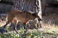 Зоопарк Денвера представил пару гривистых волков