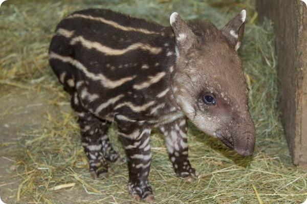 Крошечный тапир из зоопарка Франции