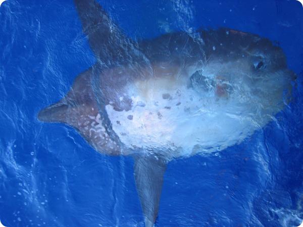 Обыкновенная острохвостая луна-рыба (лат. Masturus lanceolatus)