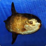Обыкновенная острохвостая луна-рыба