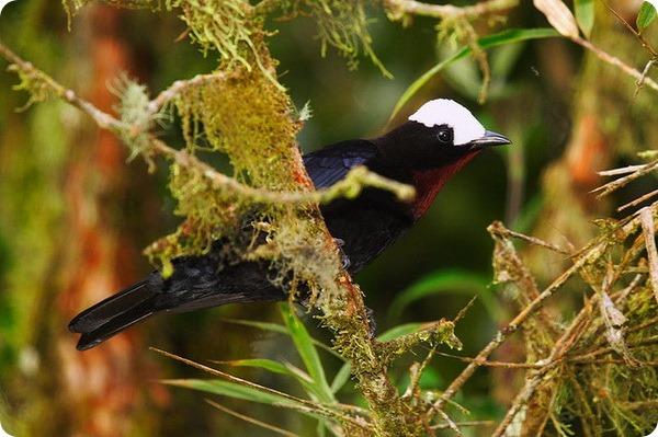 Белошапочная танагра (лат. Sericossypha albocristata)