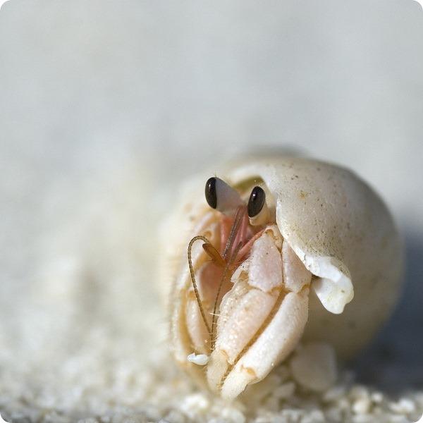 Австралийский сухопутный рак-отшельник (лат. Coenobita variabilis)