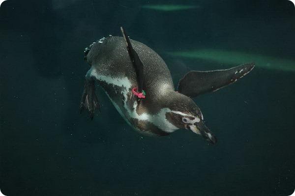 В зоопарке Канзас-Сити открылся «Пингвиний рай»