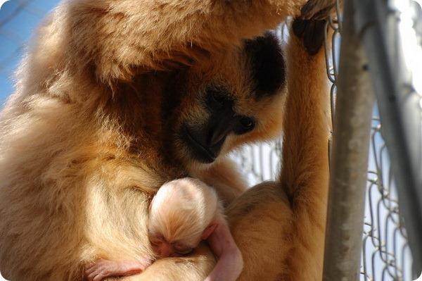 Детеныш белощекого гиббона из Калифорнии