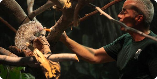 Цепкохвостый дикобраз из зоопарка Кливленда