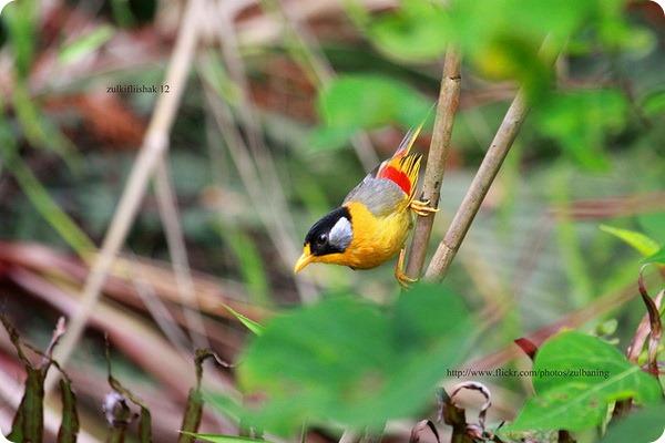 Серебристоухая месия (лат. Leiothrix argentauris)