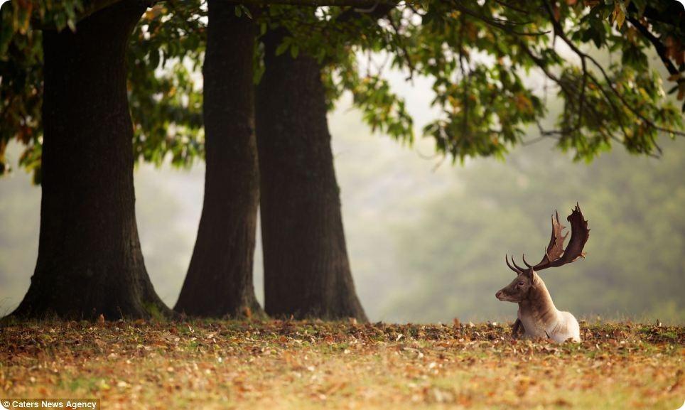 Олений гон в лондонском Ричмонд-парке