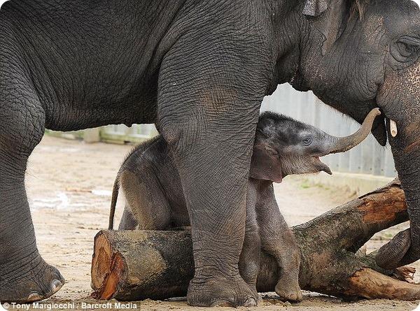 Смешной слоненок из зоопарка Уипснейда