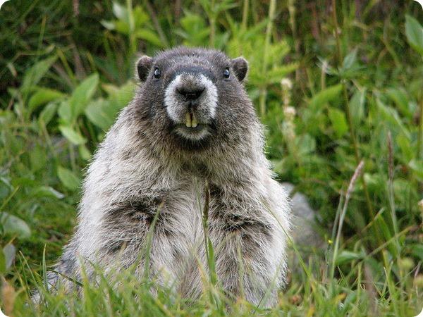 Седой сурок (лат. Marmota caligata)