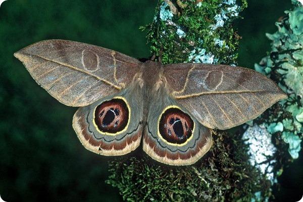 Павлиноглазка Leucanella hosmera