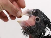 Знакомьтесь, черный какаду из зоопарка Праги!