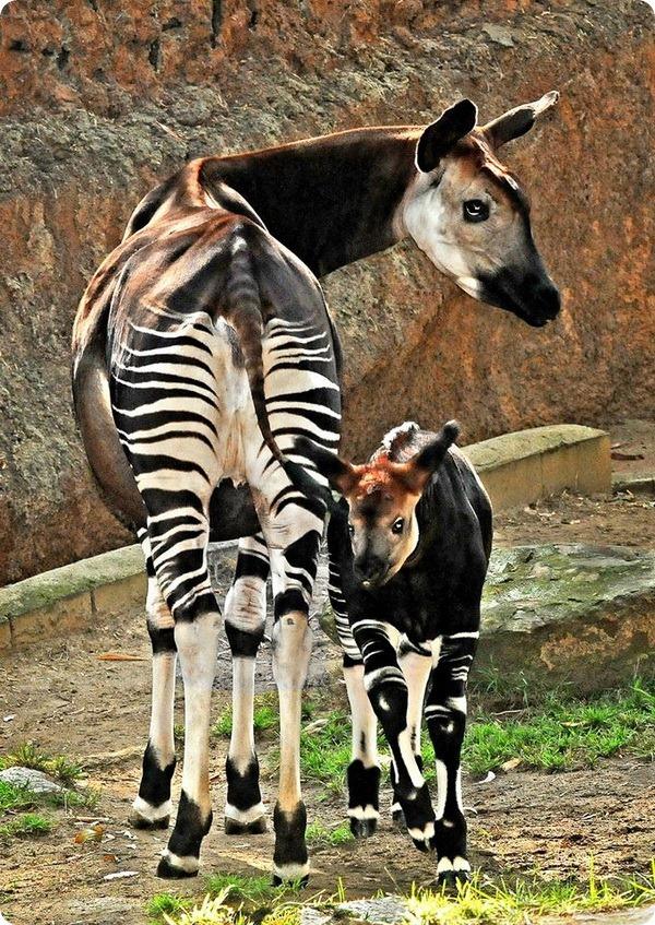Малыш окапи из зоопарка Лос-Анджелеса