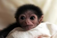 В зоопарке Джексон родился детеныши гиббона