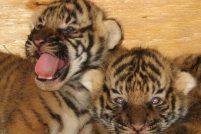 В зоопарке Литл-Рок родились малайские тигрята
