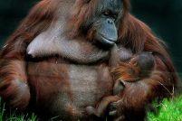 В Уорикшире у самки орангутана родился детеныш