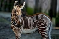 В бельгийском зоопарке родился детеныш зебры Греви