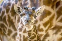 Зоопарк Нэшвилла представил детеныша жирафа