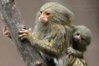 Близнецы карликовой игрунки в зоопарке Белфаста