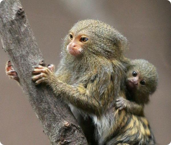 Эти милые детеныши карликовой игрунки родились в зоопарке Белфаст (Belfast Zoo) в Северной Ирландии. Детеныши появились на свет 14 ноября и находятся в одном вольере вместе со своими родителями и родственниками.