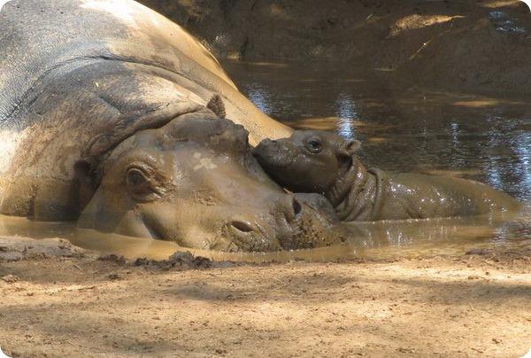 В зоопарке Австралии родился детеныш гиппопотама