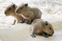 Детеныши капибар из зоопарка Шенбрун