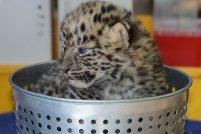 Детеныши амурского леопарда из зоопарка Флориды