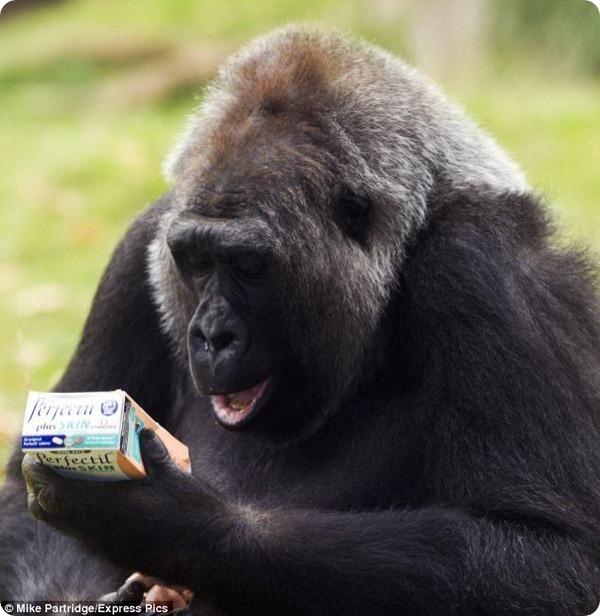 Самка гориллы Эффи начала прием витаминов