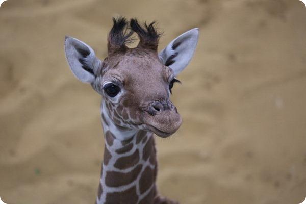 Уипснейдский зоопарк представил детеныша жирафа