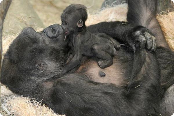 В зоопарке  Брукфилда у самки гориллы родился малыш