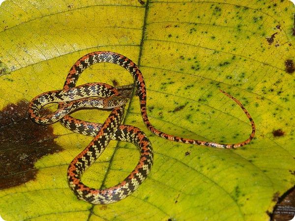 Сифлофис Siphlophis cervinus