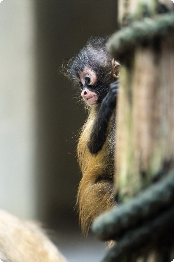 Детеныш коаты Жоффруа из зоопарка Базеля