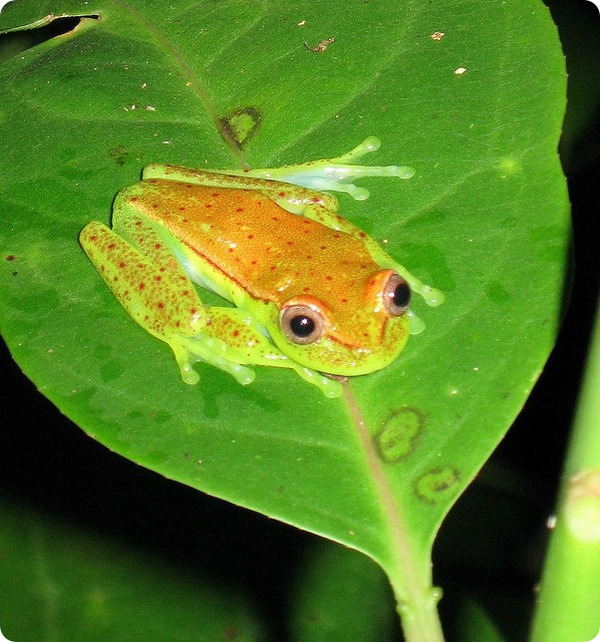 Желтоточечная квакша (лат. Hypsiboas punctatus)