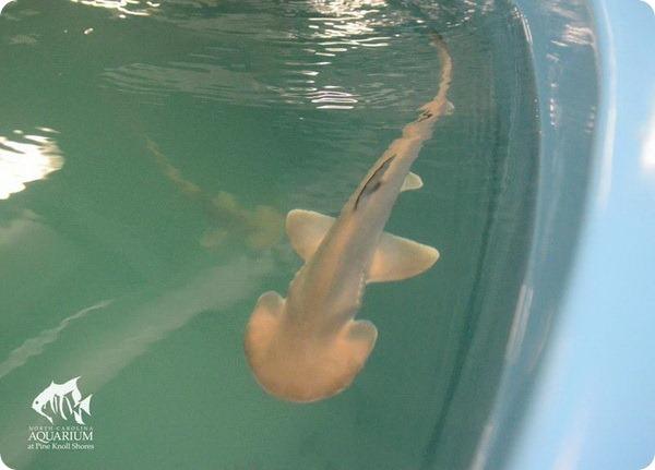 Детеныши акулы-лопаты из Северной Каролины