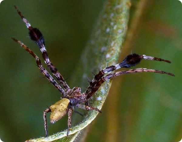 Паук-бокоход Stephanopis barbipes