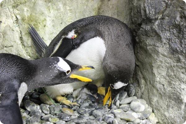 Папуанские пингвинята из Moody Gardens