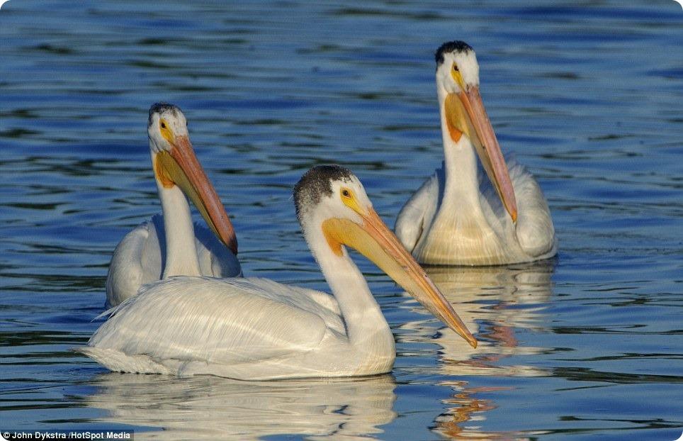 Розовый пеликан-виртуоз